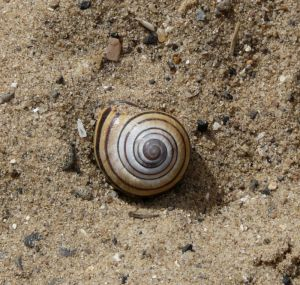 Snail Shell In Sand