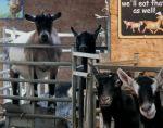Hardy's Farm Goats
