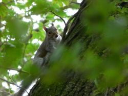 Vine Walk Squirrel